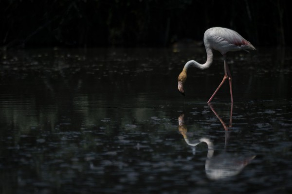 Flamingo_ACampbell_2015